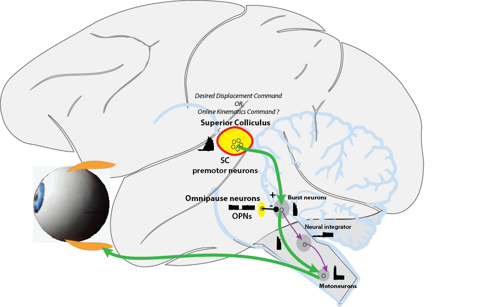 brain image diagram